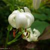 Lilium martagon alba