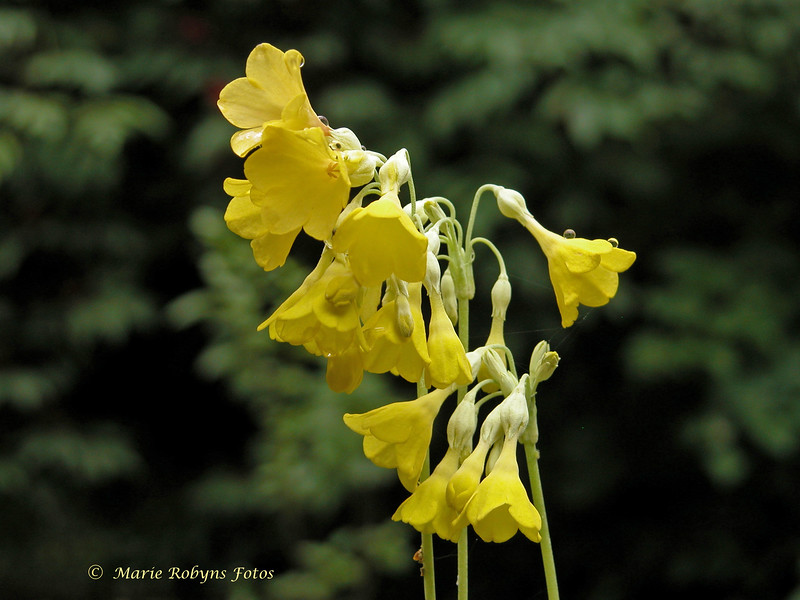 Primula florindae