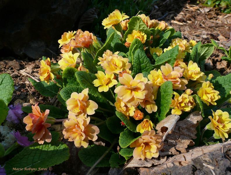 Double yellow primula