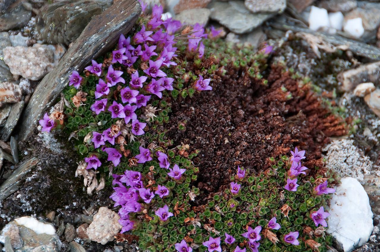 Purple Mountain Saxifrage