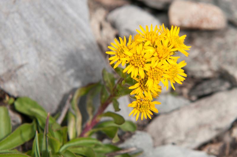Rocky Mountain Goldenrod