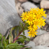 Rocky Mountain Goldenrod