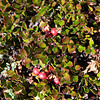 Common Bearberry - Kinnikinnick