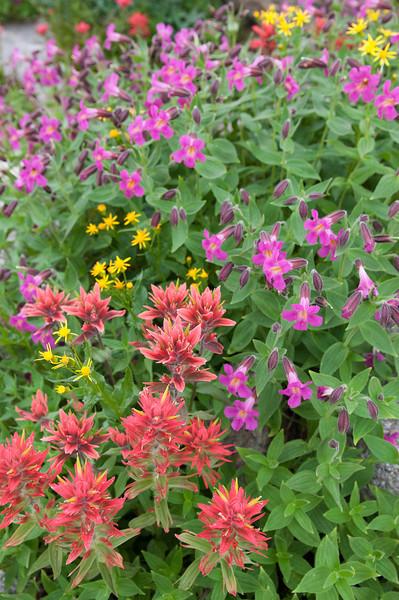 Indian Paintbrush, Purple Monkeyflower and Arrowleaf Ragwort