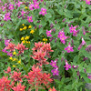Indian Paintbrush, Purple Monkeyflower and Arrowleaf Ragwort