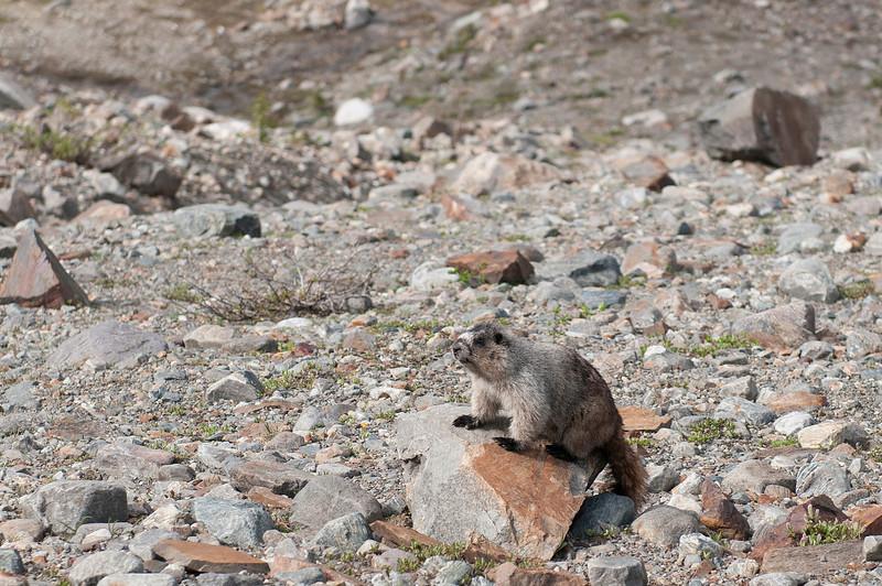 Marmot in Kickoff