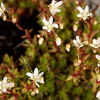 Yellowdot Saxifrage
