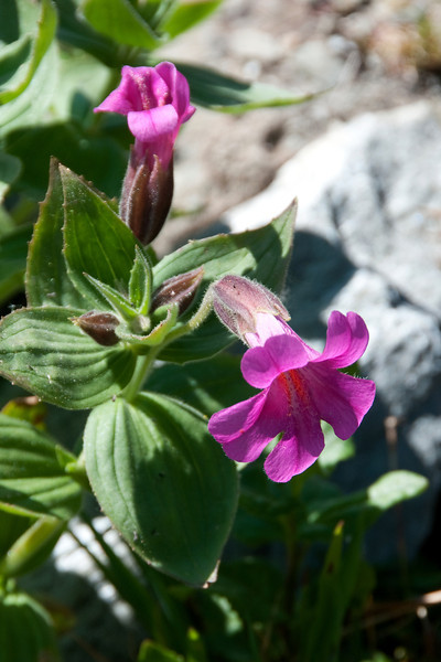 Purple Monkeyflower