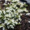 White Moss Campion