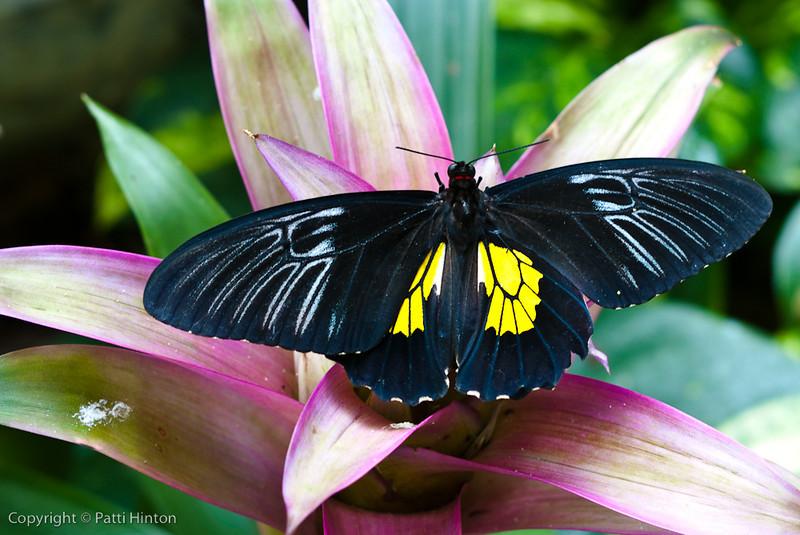Blue Morpho Butterfly-1844