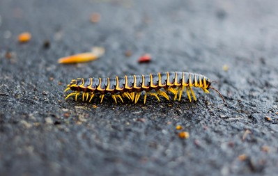 Millipede Crossing the Road