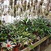 Guzmania collection (BG Hamburg)