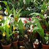 left Anguloa spec., right Lycaste spec. (Berggarten Hannover)