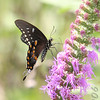 Spicebush Swallowtail<br /> Jim Ziebol Butterfly Garden