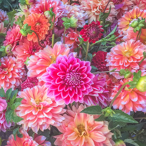 Give me all the dahlias