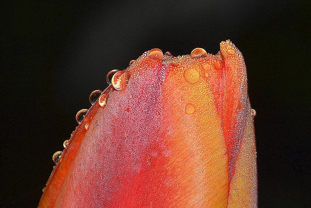 Black Forest Tulip