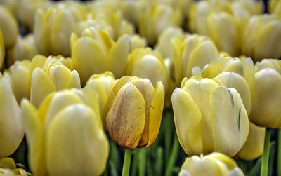 Tulips of Yellow