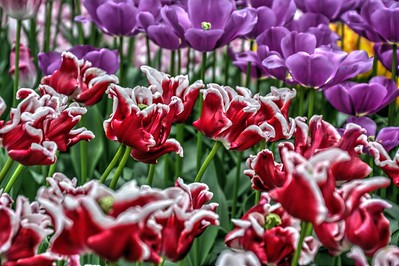 Elegant Crown Tulips