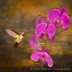 Orchid and Hummer