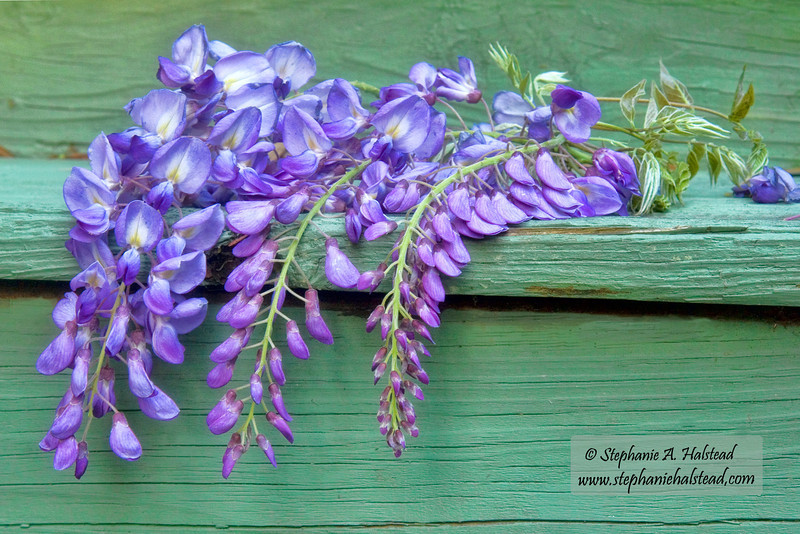 Wisteria on My Porch Step