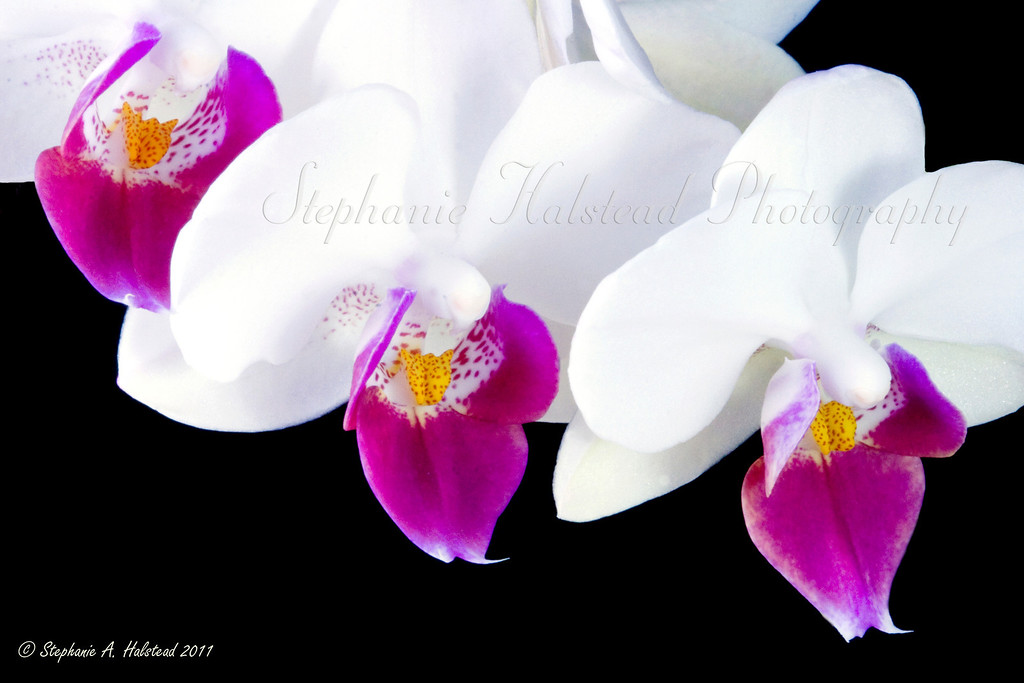 "Three Orchids<br /> March 2011 Finalist in the monthly flower contest at  <a href=""http://www.BetterPhoto.com"">http://www.BetterPhoto.com</a>.<br /> not available as 4 x 6"