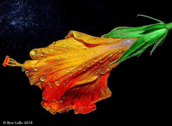 Orange Hybiscus - rain