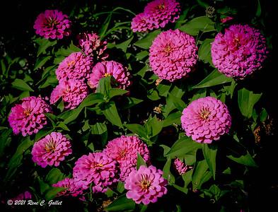 Pink Gerbers