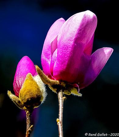 Spring Magnolia Buds