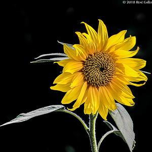 Sun Flower 05