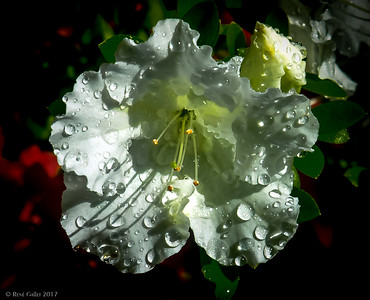 Azalea after the Rain