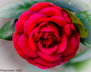 A Perfect Red Camellia