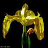Pond Iris #3