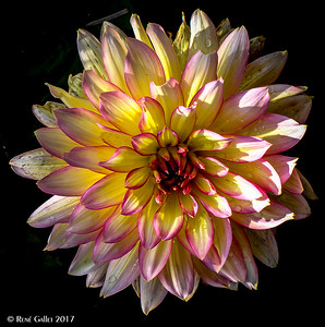 Multi-Color Dahlia #2