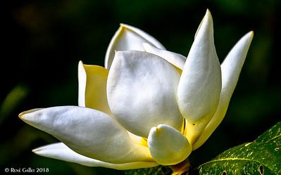 Sauser Magnolia