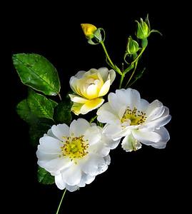 White Rose Cluster