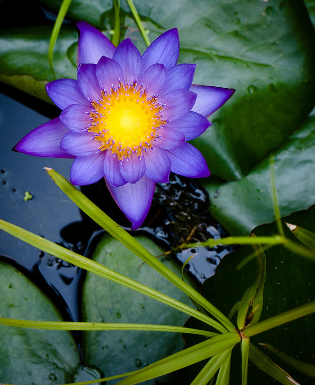 """<center><h2>' Water Lily 1 '</h2>  <em>Water Lilies Series </em> Calhoon House Charlestown, SC  12""""x16"""", Luster paper (12 mil) </center>"""