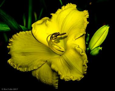 Yellow Daylily #2