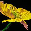 Poppy 3-17-001
