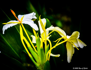 Tropical Lily
