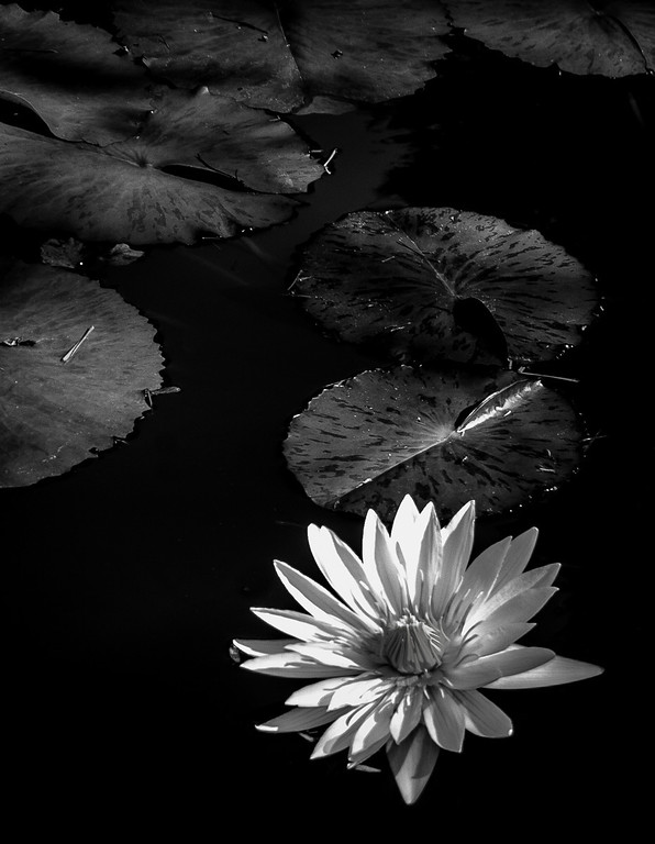 "<center><h2>' Water Lily #6 '</h2> Gibb's Gardens,  Ballground, GA  Matted 16""x20"", on Luster Photo paper (12 mil)  </center>"