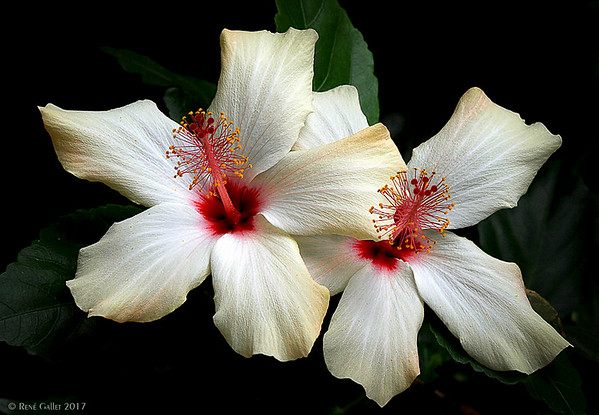 White Hybiscus