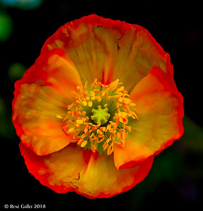 Unique Poppy Color