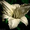 White Daylily # 49