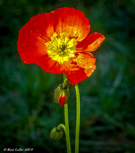 Season's 1st Poppy