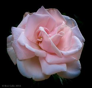 Trellis Rose