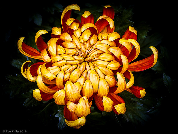 Yellow-Orange Mum