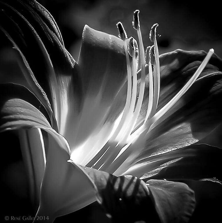 "<center><h2>'The First Daylily'</h2> Milton, Georgia ©R.Gallet 2014  Matted 16"" x 20"" Luster  Photo paper (12mil)  </center>"