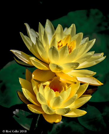 water lily - sept 9, 2018