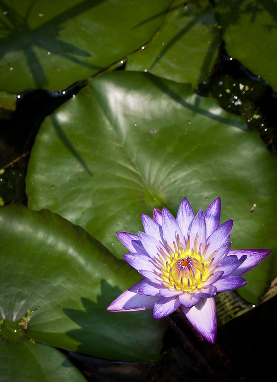 """<center><h2>' Water Lily 3 '</h2>  <em>Water Lilies Series </em> Calhoon House Charlestown, SC  12""""x16"""", Luster paper (12 mil) </center>"""