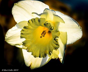 Backlit daffodil 2